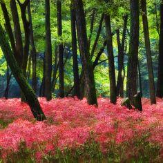 戀戀櫻花情 IMG_6006 (by 浩子™)                                          Reblogged from prettylittleflower        Source:   Flickr / sullivan6006