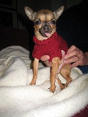 Free pattern-Ravelry: Dog Sweater for Small Dog pattern by Brian Herzog