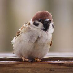 #sparrow Cute Birds, Pretty Birds, Small Birds, Little Birds, Beautiful Birds, Garden Animals, Animal 2, Exotic Birds, Budgies