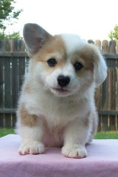 [Image: photo of a fuzzy corgi puppy looking at the camera outside. hirs left ear is flopped down]
