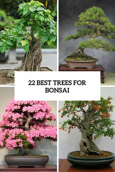 22 best trees for bonsai cover