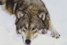 Keep Minnesota's Wolves Protected