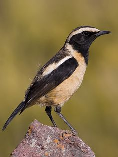 Buff-streaked Chat -  Lesotho, South Africa & Swaziland