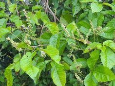 Allophylus Africanus var. africanus           African False Currant/Black Currant            Afrikaanse Bastertaaibos         1-5 m  (10)      S A no 423,1