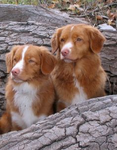 Nova Scotia Duck Tolling Retriever, I love these dogs and they are extremely smart :)