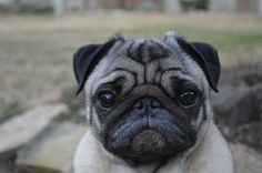 A face anyone with a heart can love... those who can't love a pug, have no heart, just an old thumpin' gizzard...
