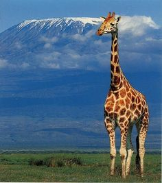 A giraffe standing in Tanzania with a nice view of Mt. Kilimanjaro in the distance.