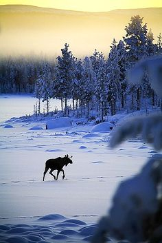 Winter wild Maine scene with moose.