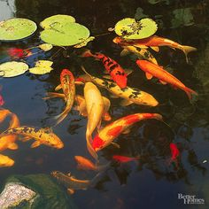 Feed the Fish-Colorful koi and goldfish bring hours of enjoyment to the Japanese garden. Train your fish to come on command for feeding time. Goldfish are hardier than koi, but both types may need to be overwintered indoors in cold climates Japanese Garden Plants, Japanese Koi, Japanese Garden Design, Japanese Gardens, Japanese Style, Japanese Goldfish, Art Koi, Fish Art, Koi Fish Pond
