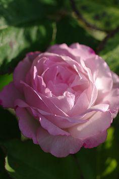 Hybrid Perpetual Rose: Rosa 'Lisette de Beranger' (France, 1867)