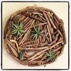Airplants placed on driftwood. Easy and fun !