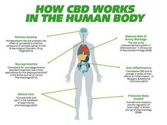 CBD is one of over 60 compounds found in cannabis that belong to a class of molecules called cannabinoids. Of these compounds CBD and THC are usually present in the highest concentrations and are therefore the most recognized and studied. - CBD and THC levels tend to vary among different plants. Marijuana grown for recreational purposes often contains more THC than CBD. - However by using selective breeding techniques cannabis breeders have managed to create varieties with high levels of CBD…