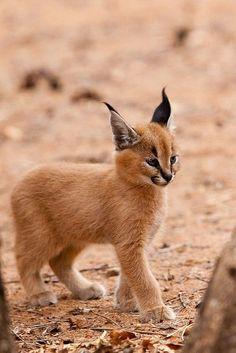 Cute little baby Caracal #nature #wildlife https://biopop.com/