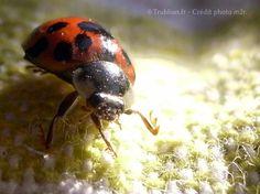 Trublion's Work : Photographie macro d'insecte, coccinelle (Ladybug) dite Anglaise, rouge avec des points noirsprise de vue rapprochée par Trublion m2