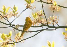 Yellow Warbler by Luke Ormand