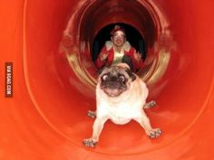 Nothing better than a pug going down a slide