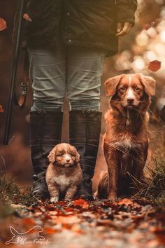 Nova Scotia Duck Tolling Retriever Puppy and Dog Denise Wegner Photography Nova Scotia Duck Tolling Retriever Welpe und Hund Denise Wegner Photography Beautiful Dogs, Animals Beautiful, Cute Animals, Really Cute Puppies, Cute Dogs, Duck Retriever, Nova Scotia Duck Tolling Retriever, Tier Fotos, Cute Animal Pictures