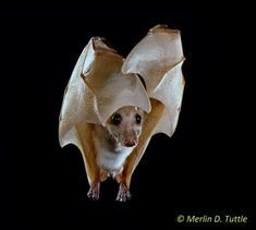 Epauletted Fruit Bat (Epomophorous labiatus) * when I first saw this guy, I thought he was a Chihuahua..:)
