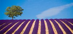 Lavender Fields near Le Couvent des Minimes Hotel and Spa – Provence, France