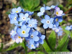 VIVACE soleil ou mi-ombre : Myosotis avec Jacinthes, narcisses, tulipes, bulbes printaniers