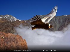 Andes Condor's Flight on Colca Canyon - Arequipa Region - Peru Condor Des Andes, Central America, South America, Malbec Wine, Andes Mountains, Mendoza, Birds Of Prey, End Of The World, Beautiful Birds