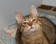 12 / 24       Petango.com – Meet Panther, a 5 months 5 days Domestic Shorthair / Mix available for adoption in Springfield, MO Contact Information Address  3161 W Norton Road, Springfield, MO, 65803  Phone  (417) 833-2526  Website  http://www.swh.org  Email  boconnell@swh.org