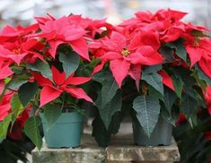 Poinsettia, All About Plants, Outdoor Gardens, Sweet Home, Home And Garden, Design, Gardening, Organic Fertilizer, Compost