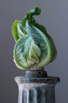 """'Cauliflower-Sculpture' from """"The Pedestal Series"""" (c.2012) by American photographer Lynn Karlin. via Gallery on the Green"""