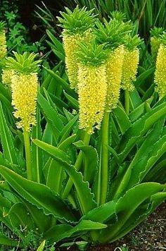 Pineapple Lily | Backyards Click