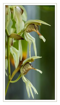 Coelogyne lentiginosa - Flickr - Photo Sharing!