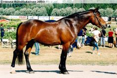 New Forest Pony - gelding Arnold Providence