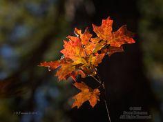Maple Leaves in Sunbeam, West Fork
