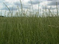 Tall wheatgrass, Szarvasi-1 variety in Hungary