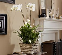 BEAUTIFUL white phalaenopsis orchid plants as the centerpiece for each guest table $79 per plant from pottery barn