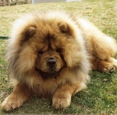 My rescue Chow Riley...what a wonderful sweet chow he was passed away at the age of 10 due to cancer.