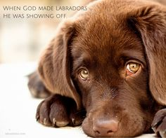 Cute Chocolate Lab Puppies With Blue Eyes: Chocolate Labrador Puppies Labrador Retrievers, Labrador Puppy Training, Labrador Puppies, Cute Puppies, Dogs And Puppies, Puppies With Blue Eyes, Chocolate Lab Puppies, Chocolate Lab Blue Eyes, Puppy Care
