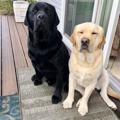 Mind Blowing Facts About Labrador Retrievers And Ideas. Amazing Facts About Labrador Retrievers And Ideas. Labrador Retrievers, Silver Labrador Retriever, Retriever Puppy, Black Labrador, Homeless Dogs, Lab Puppies, Dog Breeds, Cute Dogs, Dog Lovers