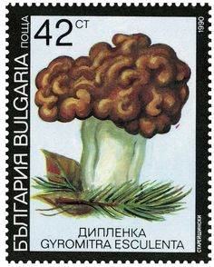 Beefsteak morel (Gyromitra esculenta)