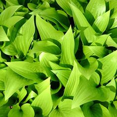 H.hybrids  Lemon Lime features a mound of lance shaped chartreuse leaves with bell shaped purple flowers.   Hostas are clump forming, shade loving plants with attractive coloured foliage and elegant bell shaped flowers. Prefers a damp shady position in your garden, ideal for pots. Protect from snails.%3...