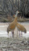 One of the first sounds of spring is the call of the Sandhill Crane.  Ice is still on the rivers and backwaters and the cranes are easy to spot this time of year. | #birdwatching #bucketlist #WIGreatRiverRd | WISCONSIN Great River Road
