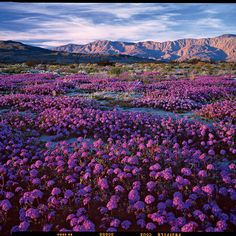 Don't miss Anza-Borrego's March wildflowers