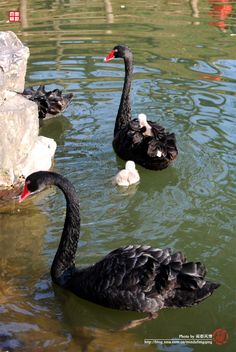 Black Swans with cygnets.  Cygnets (chicks) are born grayish and molt into black plumage after the second season.