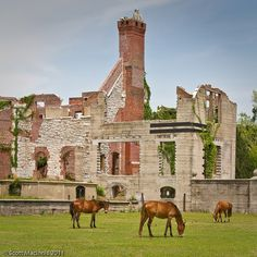 Wild horses roaming the grounds at the Dungeness Mansion ruins on Cumberland Island