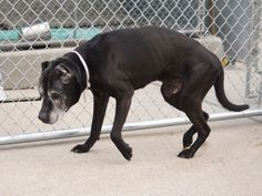 SUPER URGENT ROSCO – A1034648 **NEEDS TO SEE A VET IMMEDIATELY** MALE, BLACK, PIT BULL, 10 yrs STRAY – STRAY WAIT, NO HOLD Reason STRAY Intake condition INJ SEVERE Intake Date 04/28/2015