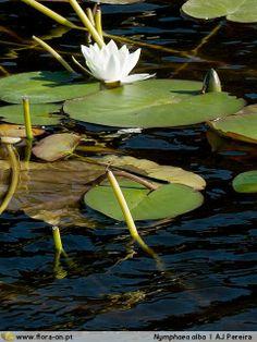 Família Nymphaeaceae | Flora-On