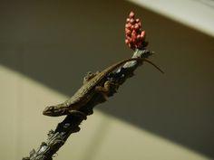 """Chief Bugcatcher"" by Bill Gibson, #AlpineTXPhoto contest semifinalist! #alpinetexas #herps #lizard"