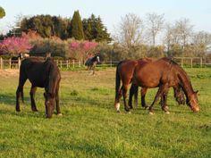 I cavalli che pascolano nel paddock vicino a casa