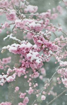 Winter Nature Photography - Snow Blossoms, Fine Art Print Set, Pink Plum…
