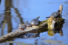 Turtles on a log at the Waterfowl Preserve in Northeast Wisconsin! Barkhausen Waterfowl Preserve, An Escape into the Wilderness [Slideshow]