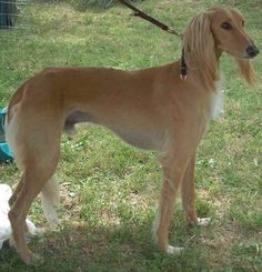 saluki photo   Jonathan now lives abroad and is running a software company. Angie is ...